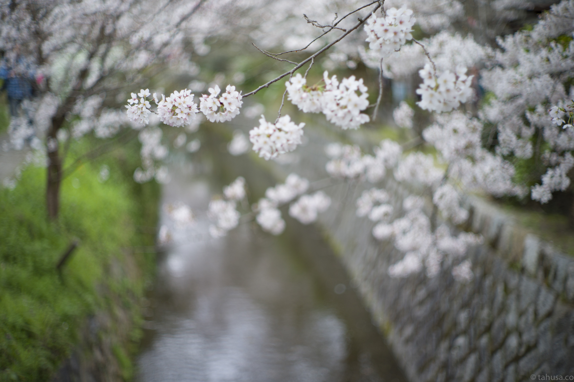 sakura-bokeh-in-Philosopher's-Walk-kyoto-sakura-season-japan-japanese-street-snap-portrait-using-leica-m9-m9p-Noctilux-50mm-50-f1-f1.0-e58-v1-digital-camera-travel