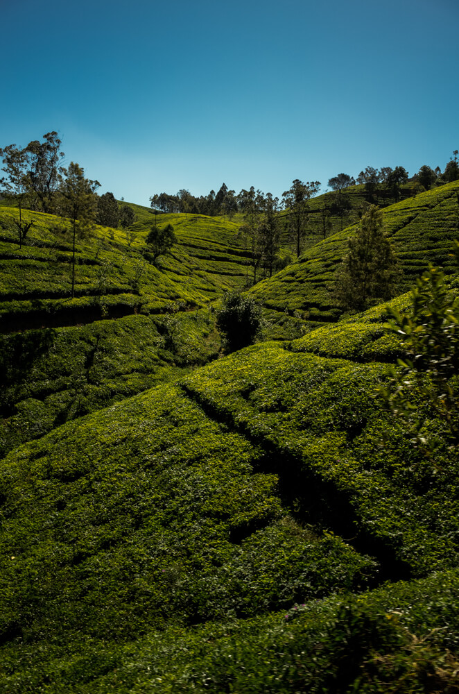 tea-planation-view-from-train-to-ella-sri-lanka-slopes-curves