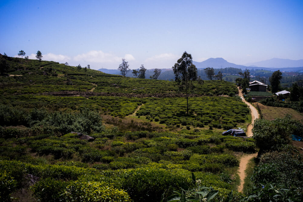 Tea-plantation-Nuwara Eliya-Sri Lanka-Nature-Backpacking-alone-tourist