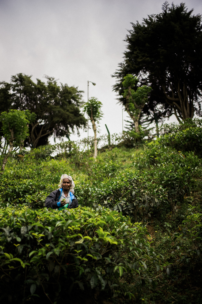 tea-picker-picking-lady-in-tea-plantation-walking-down-to-get-tips