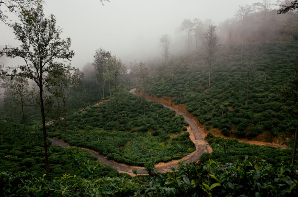 tea-plantation-full-of-around-ella-near-my-hostel-walked-5km-to-city-center-sri-lanka