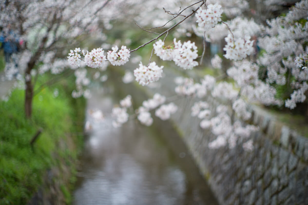 Bokeh-of-sakura-blosoom-taken-with-M9P-leica-Noctilux-50mm-f1-e58-large-aperture-lens-kyoto-japan-philosophy-walk